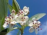 Portal Cool Hardy comestible de la fruta de floración arbusto Negro Aronia Aronia melanocarpa, Patio