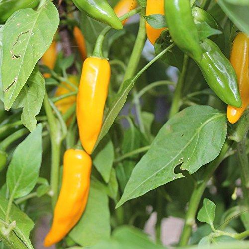 10 Samen Bulgarian Carrot Chili – kurze Reifezeit, saftige Früchte