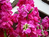 Matthiola Incana Parfüm Pflanze Reseda Nacht Duft Rosa Erbstück 500 Samen