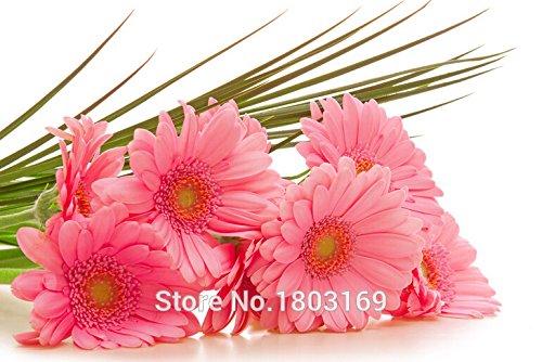 100 Leucanthemum Shasta massima Crazy Daisy Semi di fiori
