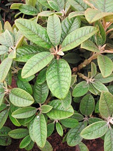 Rhododendron wiltonii - wilde Alpenrose wiltonii
