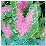 IDEA HIGH Seeds-ZLKING 100pcs Beautiful Caladium Bicolor Bonsai voller Vitalität Indoor Topfpflanzen Mehrjährige immergrüne Dekoration: Caladium bicolor9