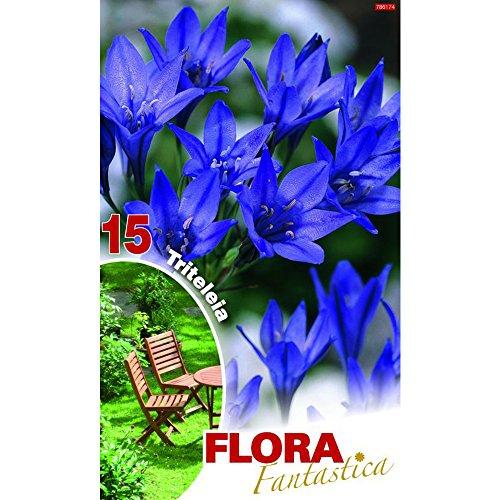 Frühlingsstern Triteleia Königin Fabiola 15 Blumenzwiebel