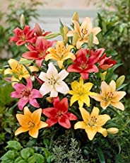 Urban Gardens Asiatic Lily flower bulbs(Pack of 4 bulbs, one each of Red, Pink, white and yellow)