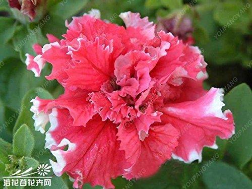 200pcs Petunia Seeds Four Seasons peut être planté 12 sortes de couleurs C'est 100% correct semences jardin vrai Flower Black Seeds