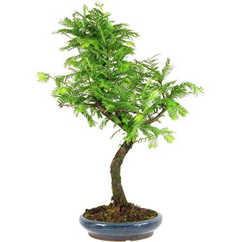metasequoia-bonsai-10-ans-48cm