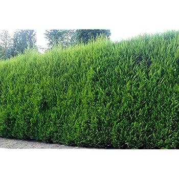 10 2-3ft High Quality Leylandii Hedging Conifers