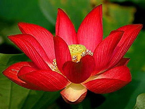 Lotus Blume, Samen (Bonsai Lotus / Wasser Lily Blume Bowl-Pond 5 Frische Samen / Rot Lotus)