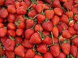 Erdbeeren 1500+ Samen *Großfruchtig/Süß/Wohlschmeckend* -Super Ertrag und Winterhart-