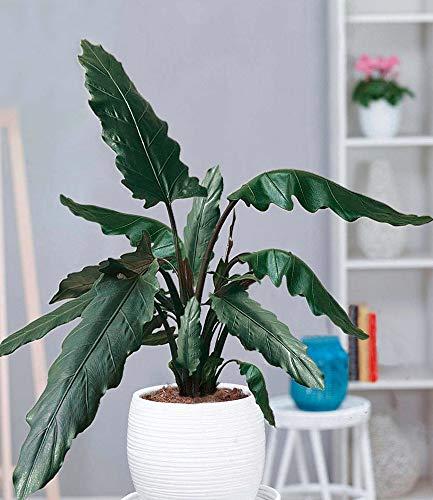 BALDUR-Garten Alocasia Lauterbachiana, 1 Pflanze Elefantenohr Zimmerpflanze