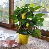 Semi 20 limone semi di bonsai da frutto Citrus limon albero da frutto giardino terrazza Seme NO-OGM frutta e verdura semi per giardino fai da te