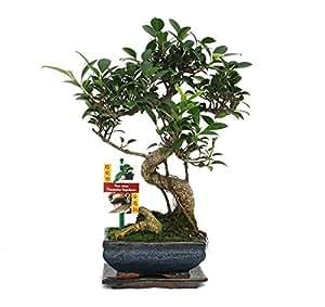 exotenherz.de - Bonsai Ficus retusa, 6 anni