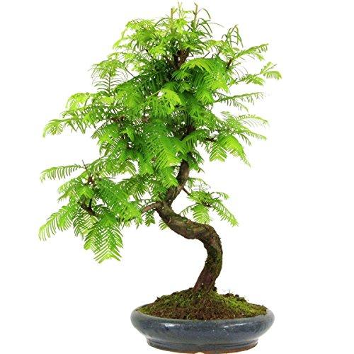metasequoia-bonsai-10-ans-44cm