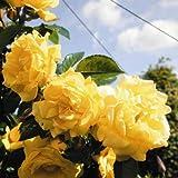 lichtnelke - Kletterrose 'DUKAT' Rose mit reicher Blüte