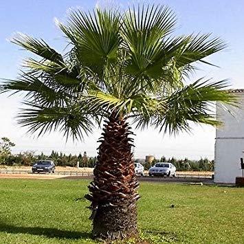 FERRY Keim Seeds: Fan Palm Seeds (Washingtonia Filifera) 10Seeds
