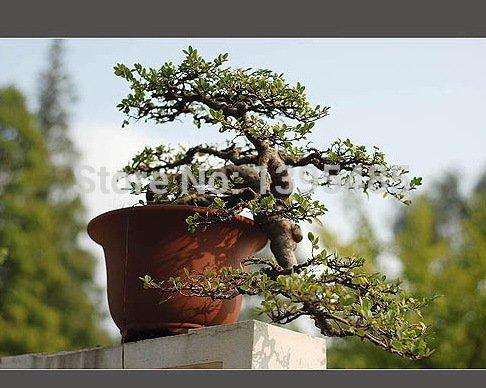 semi-di-albero-podocarpus-yacca-albero-albero-dei-semi-arbusti-sempreverdi-in-vaso-paesaggio-giardin