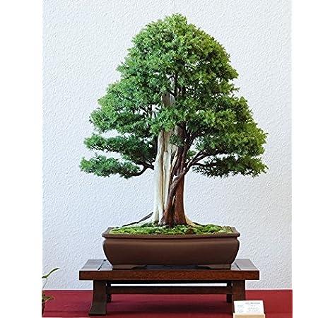 Creative Farmer Bonsai Suitable Plant Juniperus Communis Common Juniper Bonsai Suitable Seeds Pack Of 5 For Home Depot Amazon In Garden Outdoors
