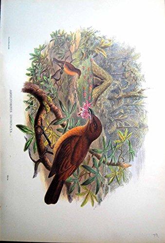 John Gould Gould Vogel (Drucken Sie Nest Gärtner-Bower-Vogel Amblyornis Inornata John Gould)