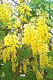 Golden Dusche Baum gold rush gelb Cassia Fistel Blumensamen * Kamm S/H