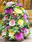 Shopmeeko Envão Gratis, 50 Piezas de Plantas Ornamentales y comestibles Calientes de repollo Visita turíStica Aplicar Bonsai de Vegetales de Flores Rojas y Blancas para el hogar