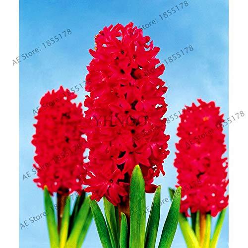 Nouvelle grande vente 105pcs / sac jacinthe comme, vivace jacinthe Flores mis en pot, fleur Bonsai en maison & jardin rose foncé (GRAINES SEULEMENT)