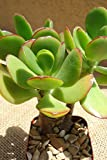 Seedlings india Succulents Crassula Ovata, Jade Plant Live Plant