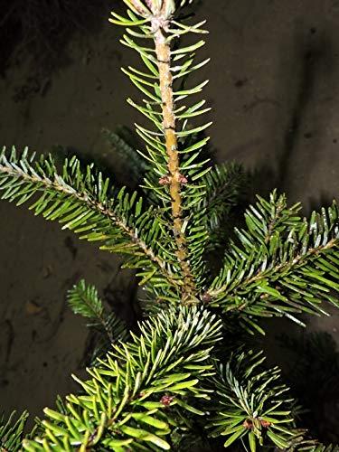 10 Stück Nordmanntanne victor (Abies nordmanniana victor) Topfware 8-12 cm hoch, 3 Jahre
