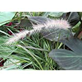 Pennisetum is known as a perennial . (English Edition)