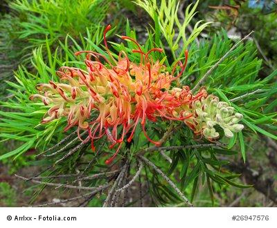 Grevillea robusta Australische Silbereiche 1000 Samen Bonsai geeignet