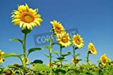 Alu-Dibond-Bild 90 x 60 cm: 'field of sunflowers and blue sun sky', Bild auf...