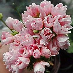 Gfone 10 Stücke Geranium Samen Pelargonium Hortorum Mehrjährig Blumensamen Garten Bonsai Blumen Saatgut Garten Pflanze Saat Seed Plant
