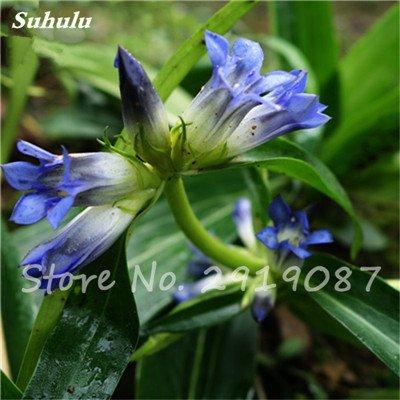 De haute qualité bonsaïs 100 Pcs Largeleaf gentiane Graines vivace Fleur bleue Graine Blooming Plantes Diy jardin Ménage 8