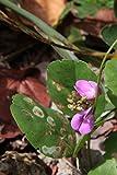 Asklepios-seeds - 30 Semillas Canavalia rosea Haba, poroto de playa, haba de bahía, haba poroto de...