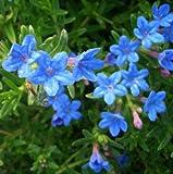 lichtnelke - Steinsame (Lithodora diffusa Heavenly Blue)