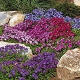 Blaukissen 250 Samen (Farbmischung) Aubrieta Mix