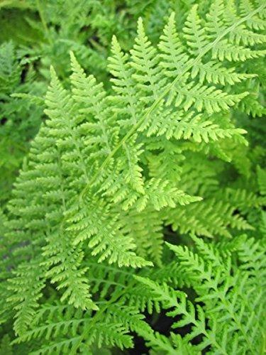 Frauenfarn – Gemeiner Waldfarn – Athyrium filix femina