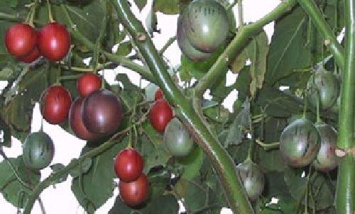 Albero Pomodoro, tamarillo, ricco di vitamina C,