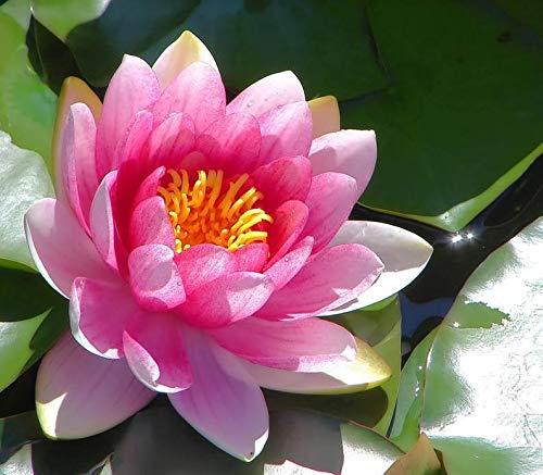 Inkeme Giardino 10 Pezzi Semi Di Fiori Di Loto Indiano Piante Acquatiche Stagno Piante Ornamentali Semi Di Fiori Di Loto Fiori Estivi Resistenti