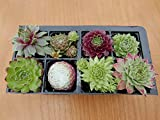 A Collection of 8 Sempervivum Plants house leeks - Best Reviews Guide
