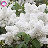 100pcs Rare Blue & White Japanische Flieder Seeds (Extremely Fragrant) Nelke Blumensamen für die Dekoration Haus und Garten 1 Bepflanzung