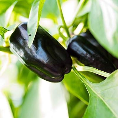 """Gartenbau Friedrich Premium Gemüse-Pflanze Block-Paprika """"Beluga Purple"""" im 10,5er Topf. Jetzt selber anbauen und große Früchte mit viel Fruchtfleisch ernten. von Gartenbau Friedrich bei Du und dein Garten"""