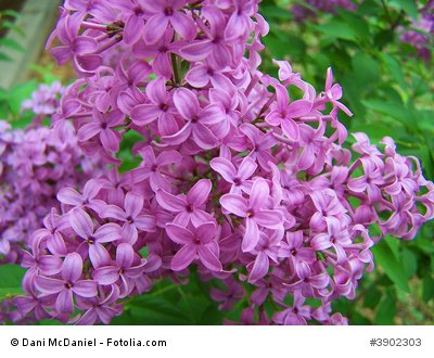 Schmetterlingsflieder buddleja davidii 100 Samen frosthart bis – 25 Grad