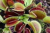 Venusfliegenfalle/ca.50 Samen/Fleischfressende Pflanze/Faengt Insekten /