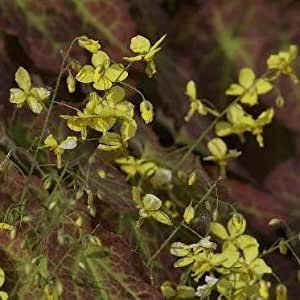 Elfenblume, Epimedium x perralchicum 'Frohnleiten'