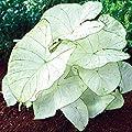 Shoppy Star: Caladium Florida Moonlight (5 Glühlampen) Hellen weiße Blätter mit hellgrünen Adern Jetzt Versand! von Buy Now auf Du und dein Garten