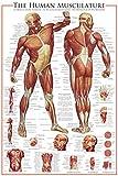 empireposter - Educational - Bildung - The Muscular System - Größe (cm), ca. 61x91,5 - Poster, NEU - Text auf englisch
