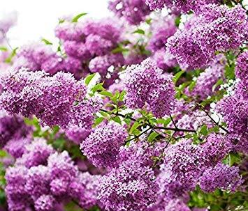 VISTARIC 12: Fruit Graine Corossol Graviola Annona semences multi-couleurs Annona Graine bricolage jardin Plante en pot croissance naturelle 3 piÚces 12