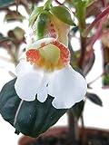Impatiens Morsei Velvetea - das Kongoliesschen eine bezaubernde Zimmerpflanze...