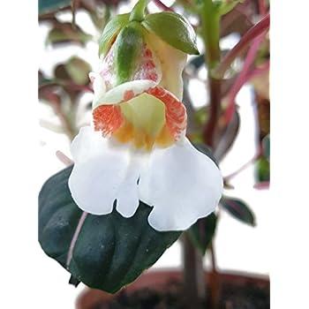 impatiens morsei velvetea das kongoliesschen eine bezaubernde zimmerpflanze f r den halb. Black Bedroom Furniture Sets. Home Design Ideas