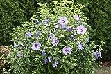 Hibiskus Syriacus 5 Samen Blau Roseneibisch, Blau Hibiskus, Syrische Eibisch (Hibiscus Blue)